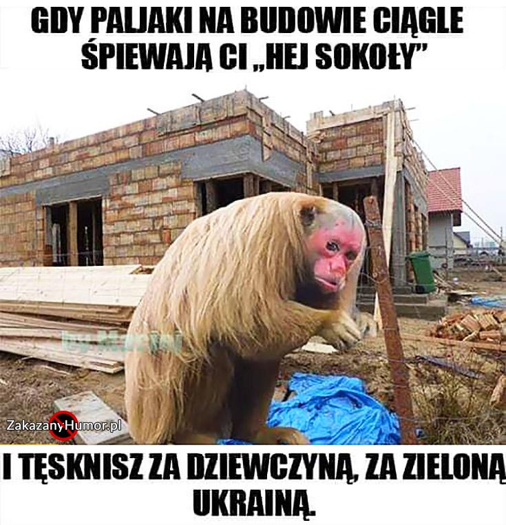 gdy-polaki-na-budowie-ciagle-spiewaja-ci-hej-sokoly-i-tesknisz-za-dziewczyna-za-zielona-ukraina-malpa-ukrainiec